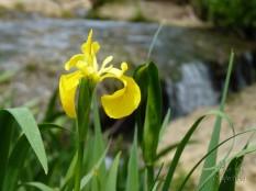 lirio amarillo en escalante
